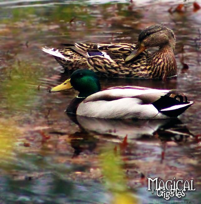 Duck Season!
