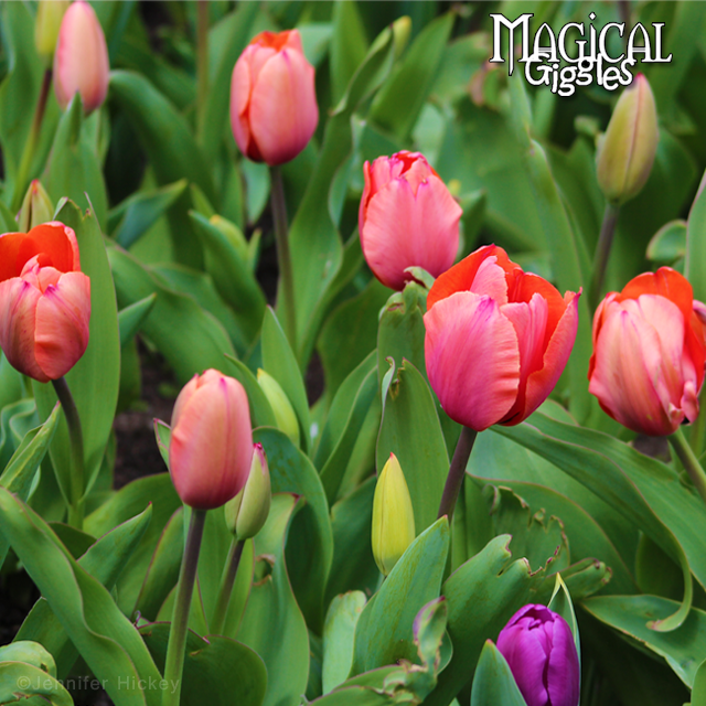 Tiptoe through the tulips at the Holtsville Ecology site and Animal Preserve.